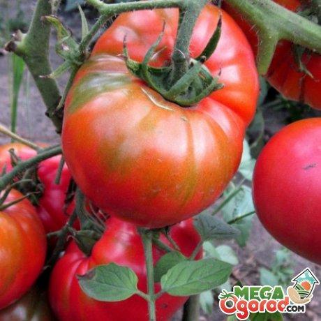 Уход за томатом Хлебосольным