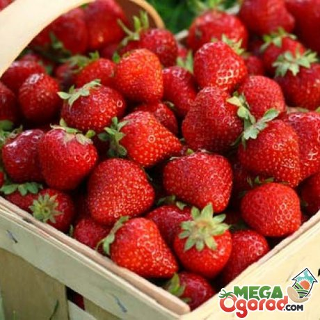 Преимущества и недостатки садовой ягоды