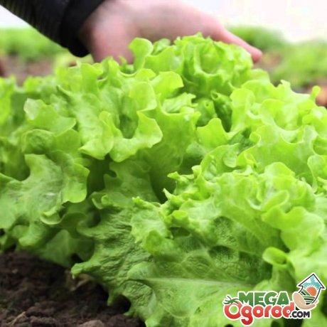 Особенности выращивания листового салата