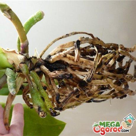 Почему сохнут корни у растения?