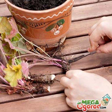 Размножение растения