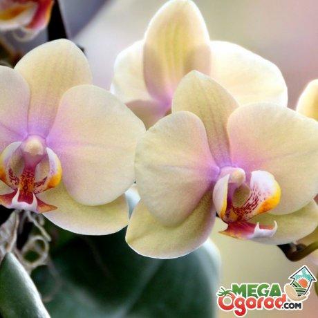Выращивание орхидеи пафиопедилум и фаленопсис