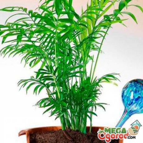 Как ухаживать за комнатной пальмой?
