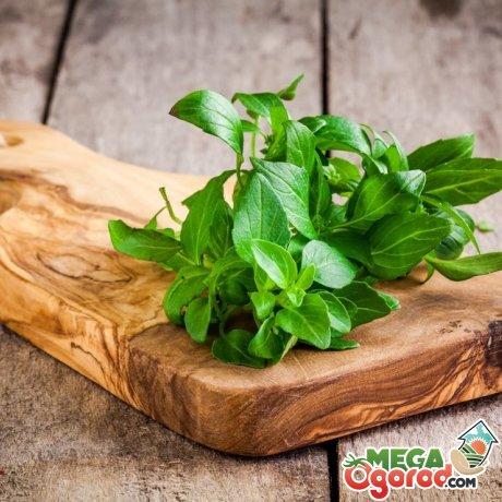 Как приготовить эфирное масло базилика своими руками?