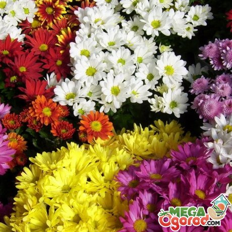 Лучшие сорта хризантем для долгого хранения