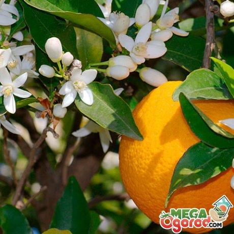 Выращивание апельсинов в домашних условиях