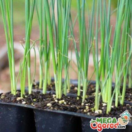 Лук порей выращивание и уход