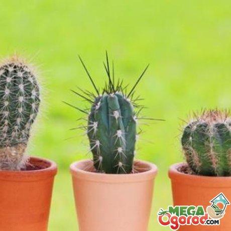 Виды кактусов и их особенности