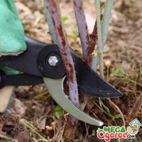 Как обрезать ремонтантную малину на зиму