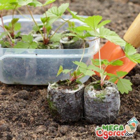 Клубника из семян: технология выращивания в домашних условиях