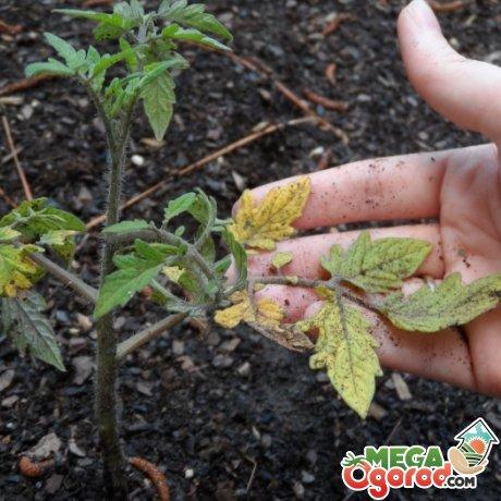 Болезни и вредители рассады томатов