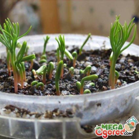 Правила высадки семян сосны