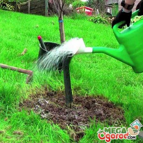 Шелковица в сибири выращивание уход