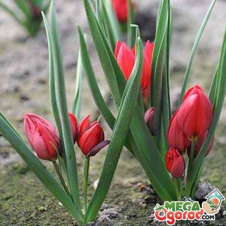 Уход за карликовым тюльпаном