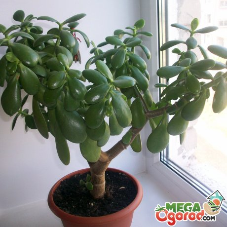 Толстянка (крассула «или денежное дерево»)
