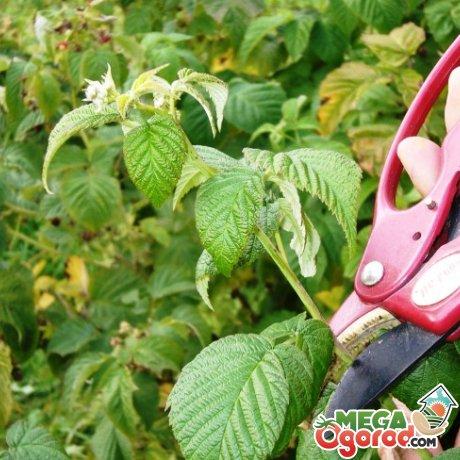Малина Полана - ремонтантный и неприхотливый сорт малины для вашего участка