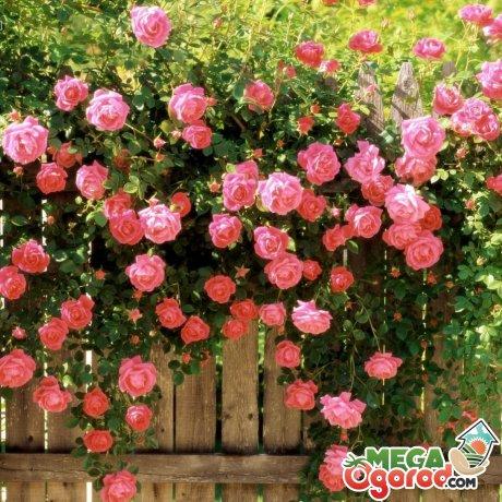 Многолетние декоративные вьющиеся растения