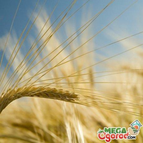 Сроки посева и условия выращивания