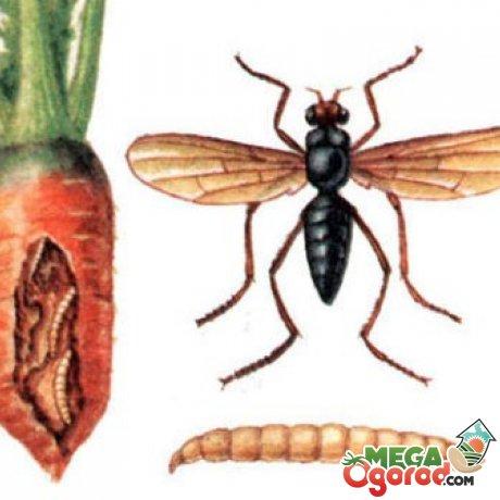 Защита моркови от болезней и вредителей