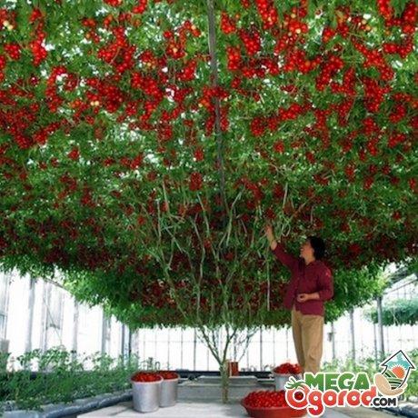 Любительское культивирование томат-дерева