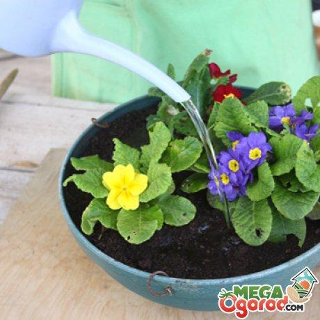 вырастить примулу из семян