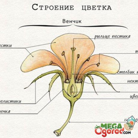 Краевые (периферические) цветки у васильков бесплодные, иногда увеличенные, листики обертки