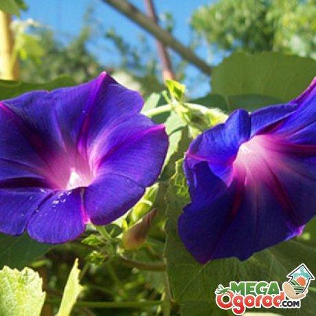 Выращивание ипомеи из семян