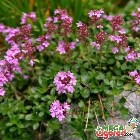 Чабрец фото растения