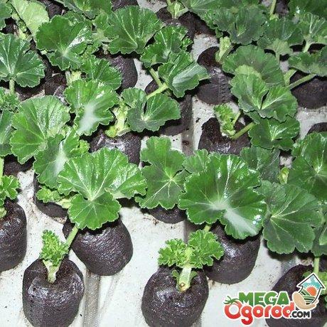 как из семян вырастить герань