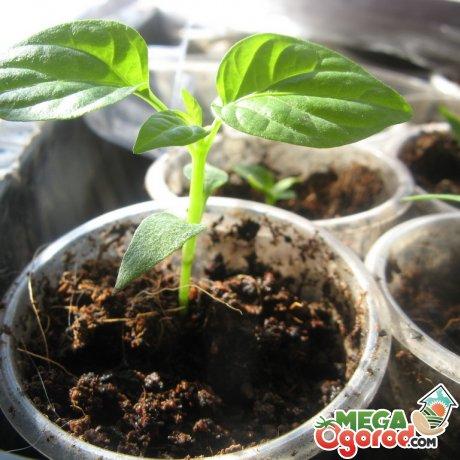 Когда сеять перец на рассаду