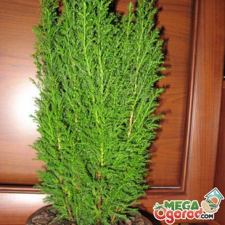 Кипарис комнатный macrocarpa goldcrest с прямостоячими стеблями