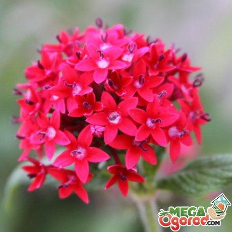 Пентас цветок