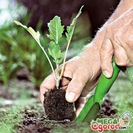 Правильно посадить капусту - просто! Мастер