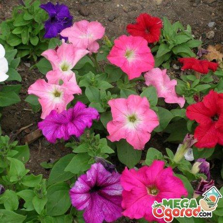 Как прищипывать петунию: советы начинающим цветоводам