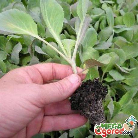 Когда сеять капусту на рассаду