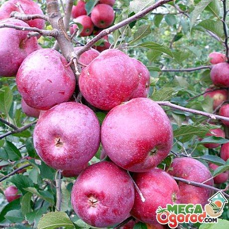 Яблоня флорина