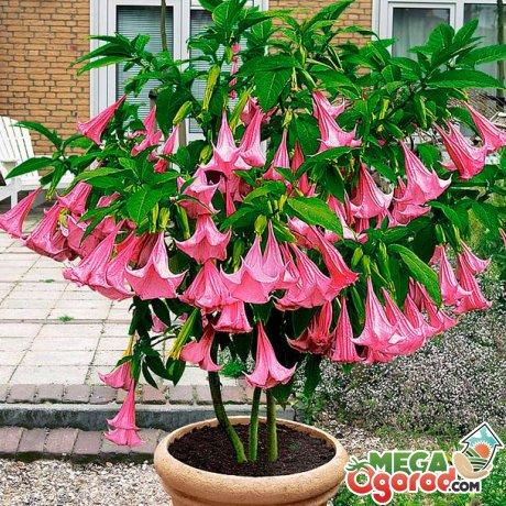 Куст бругмансии с розовыми цветами