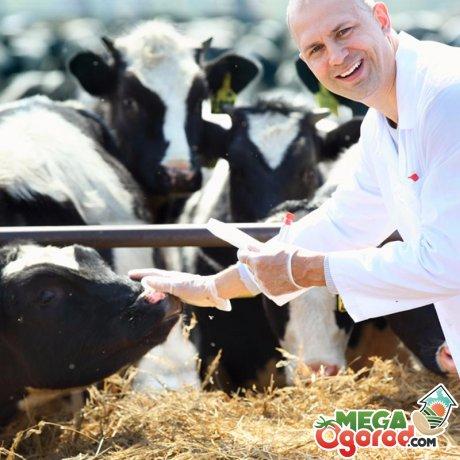 Что делать, если у коровы не нормальная температура