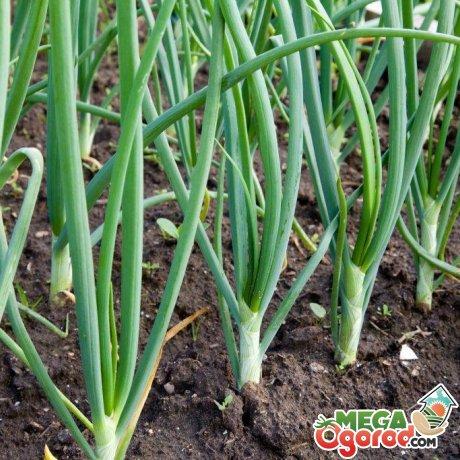 Зеленый лук без стрелок