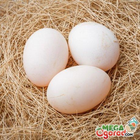 Выбор яиц для наседки