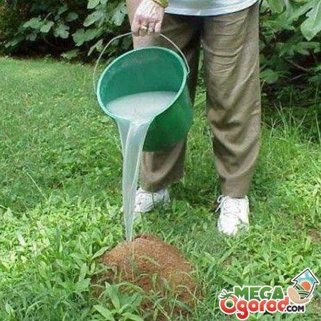 Уничтожение муравейника на участке