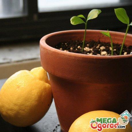 Посадка лимона в домашних условиях
