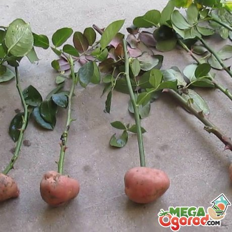 Укоренение роз в картошке