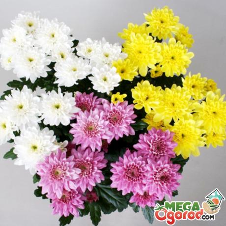 Цветные хризантемы