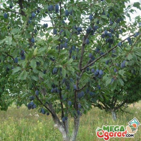 Плодоносящее сливовое дерево