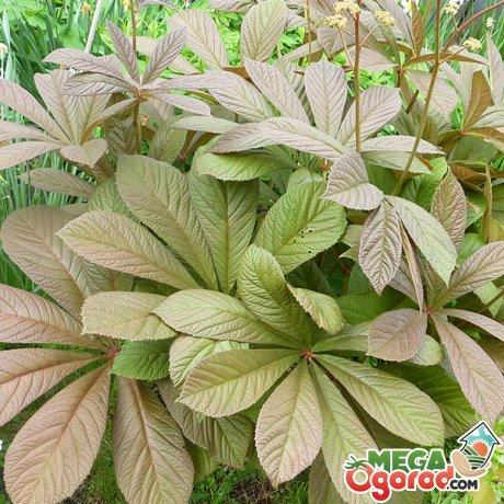 Листья роджерсии
