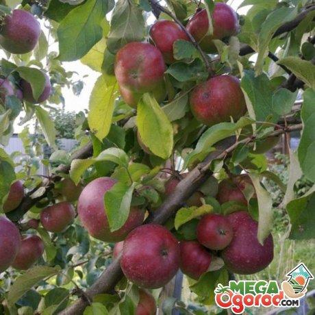 Яблоня сорта Орлик