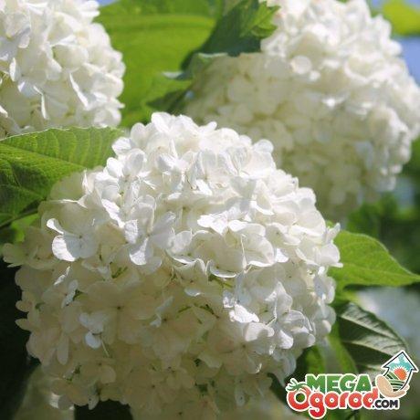 Цветки декоративной калины