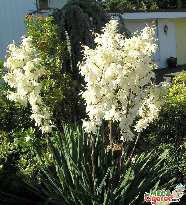 растение юкка садовая
