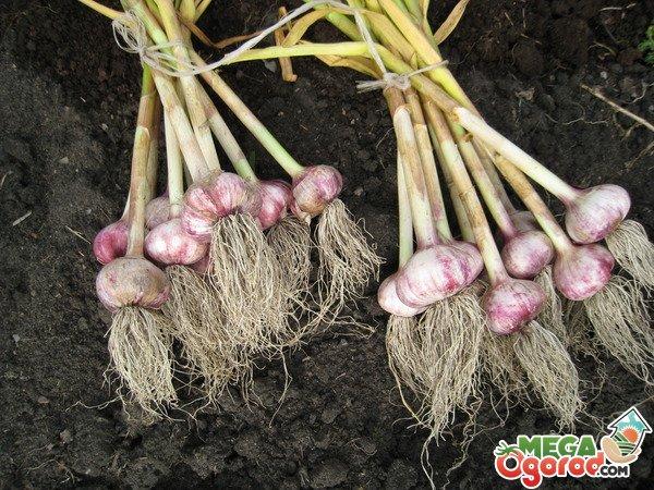 Секреты выращивания ярового чеснока